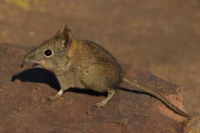 Shrew Man Chew. Elephant Shrew