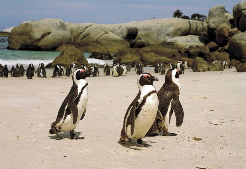 African Penguins Simonstown
