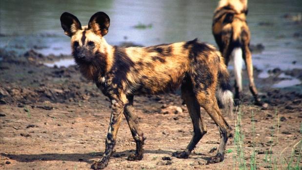 Madikwe wild dog