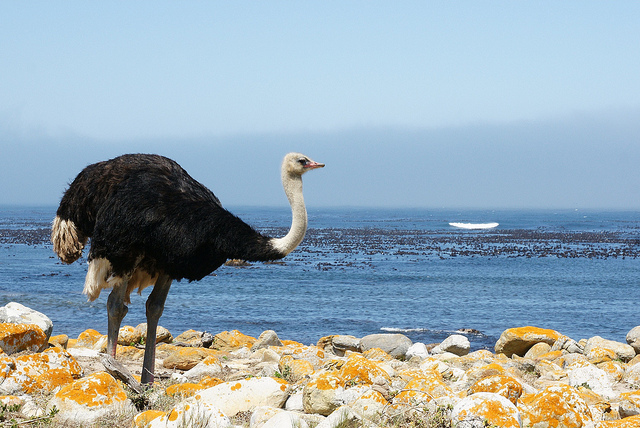 Cape Point Ostrich