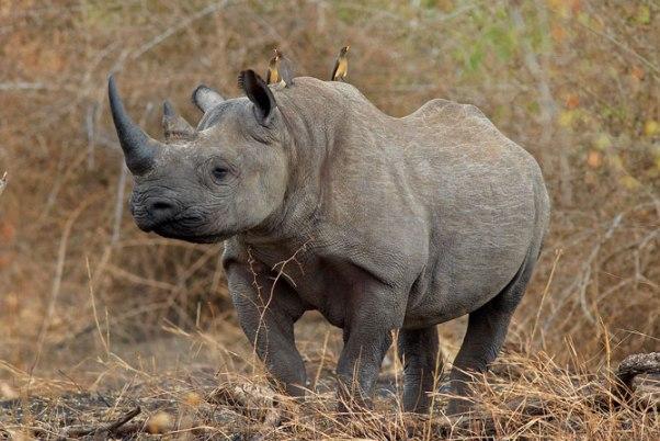 Singita Ebony Rhino