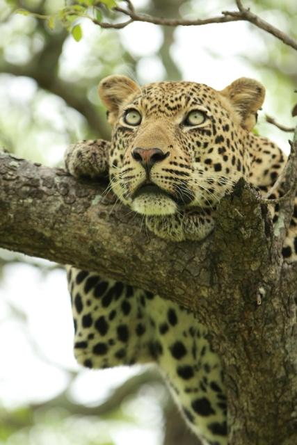 Singita Leopard